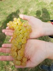 travail saisonnier vigne
